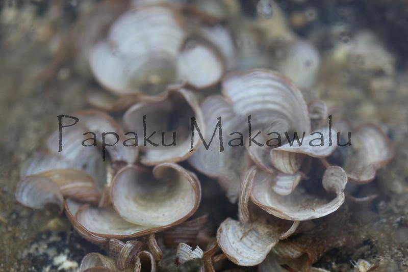 Padina<br /> (c) Kuulei Kanahele<br /> Padina spp.<br /> Laehala