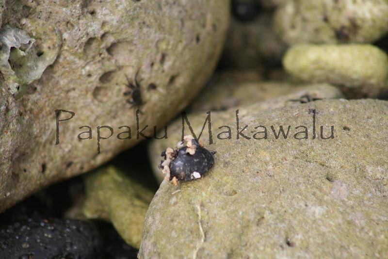 Kupee<br /> (c) Kalei Nuuhiwa