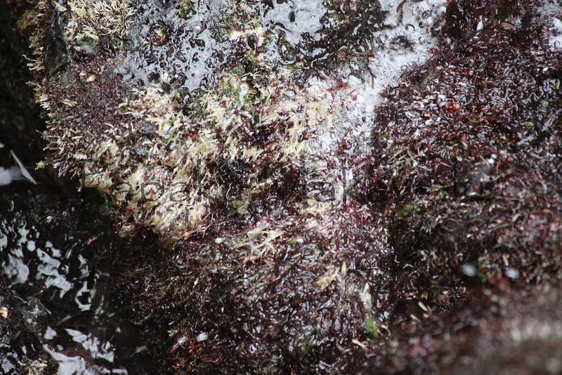 Phu Quoc Seaweed<br /> (c) Pualani Kanahele