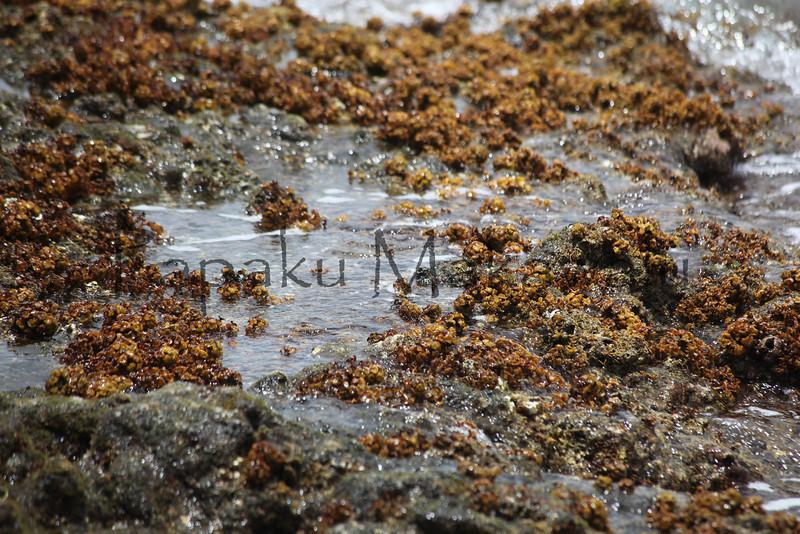 Ornate Seaweed<br /> (c) Kuulei Kanahele<br /> Laehala