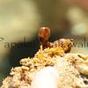 Rubbery Seaweed?<br /> (c) Kalei Nuuhiwa<br /> Laehala