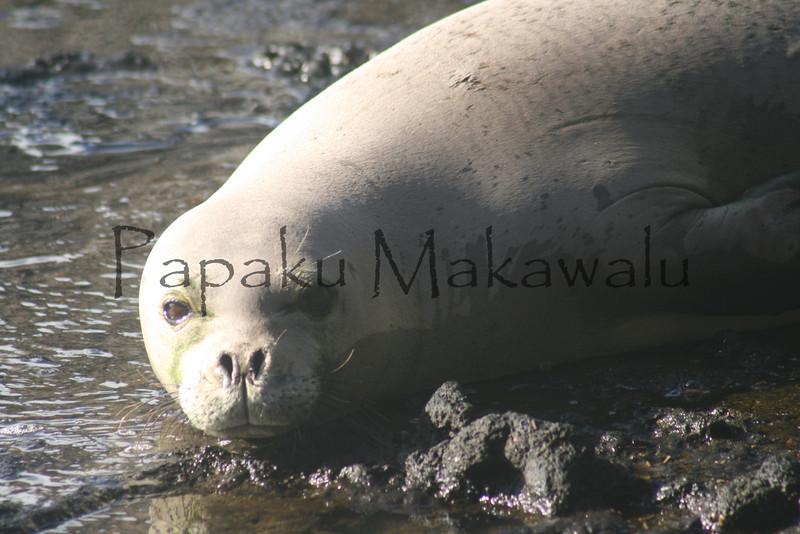 Ilioholoikaua<br /> (c) Ulumau Kealiikanakaoleohaililani