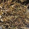 Spiny Seaweed<br /> (c) Kuulei Kanahele<br /> Laehala