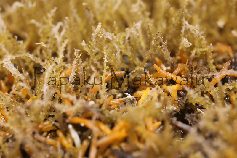 Spiny Seaweed?<br /> (c) Kuulei Kanahele<br /> Laehala