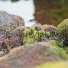 Green Algae <br /> (c) Kuulei Kanahele<br /> Dictyosphaeria spp.<br /> Laehala