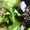 Limu Palahalaha<br /> (c) Kuulei Kanahele<br /> Ulva spp.<br /> Laehala