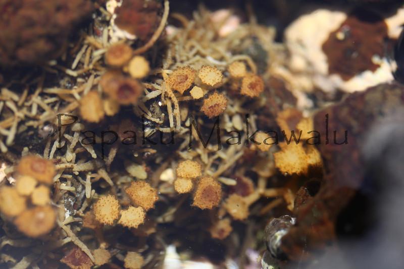 Ornate Seaweed<br /> (c) Kuulei Kanahele<br /> Turbinaria ornata<br /> Laehala