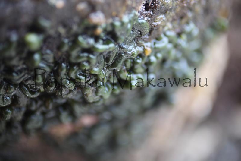 Mat Chaetomorpha?<br /> (c) Kuulei Kanahele<br /> Laehala