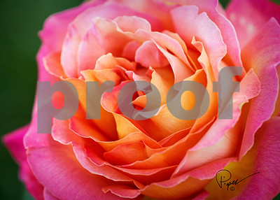 GrtCrd_4509 - Rose