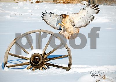 7818 Red Tail Hawk