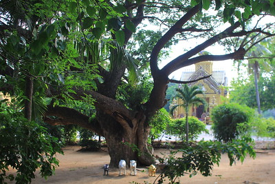 giant tree at Wat Khao Kalok