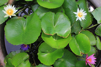 Lotus flowers at Meridian Khao Tam, Phangan