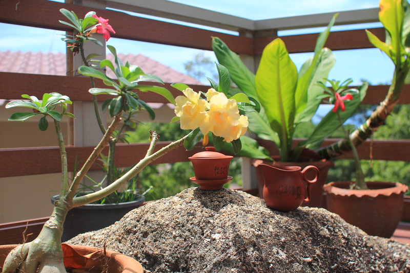 Bonsai tree at Phangan tea house & gallery