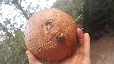 2 wholes coconut