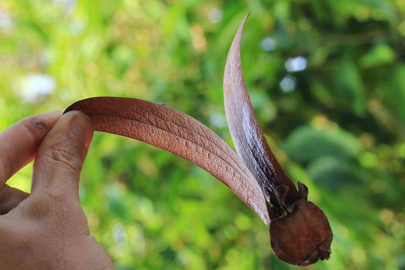 Flying wonder - Dipterocarpus