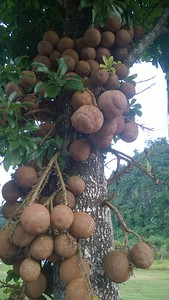 Sal - Tree of Buddha - Bodhi Tree from previous Arrival