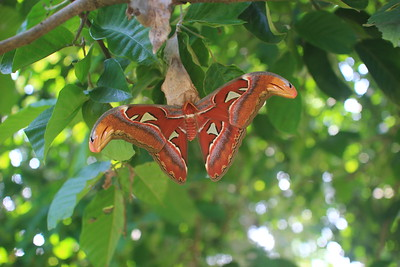giant butterfly on santol tree
