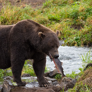 Big Male Kamchatka Brown Bear