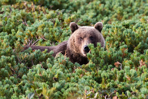 Kamchatka Brown Bear in the pines