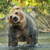 Grizzly Bear - Kamchatka, Russia