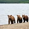 Baby Grizzlies - Kamchatka, Russia