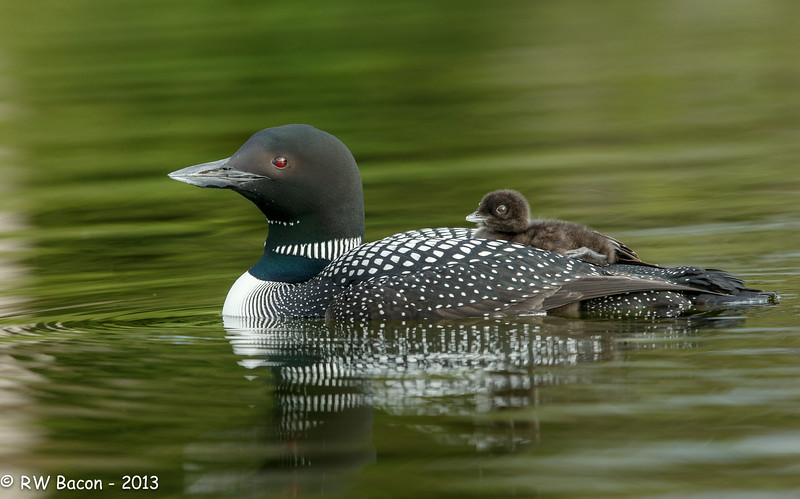 Loon Chick Ride Along