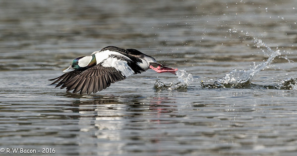 Bufflehead Blast-off