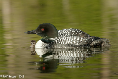 Loon Chick Peek-a-boo