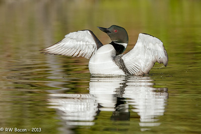 Loon Wing Flap