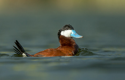 Ruddy Duck-1