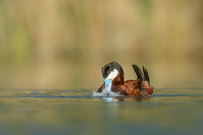 Ruddy Duck Bubbles-1