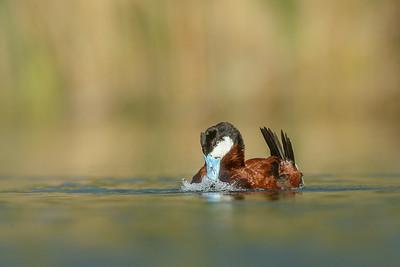 Ruddy Duck Bubbles-1