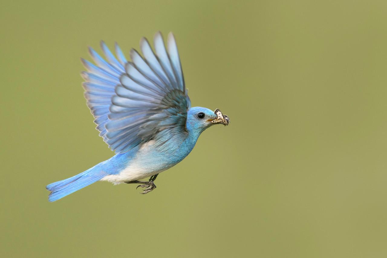 Mountain Bluebird Kamloops, BC