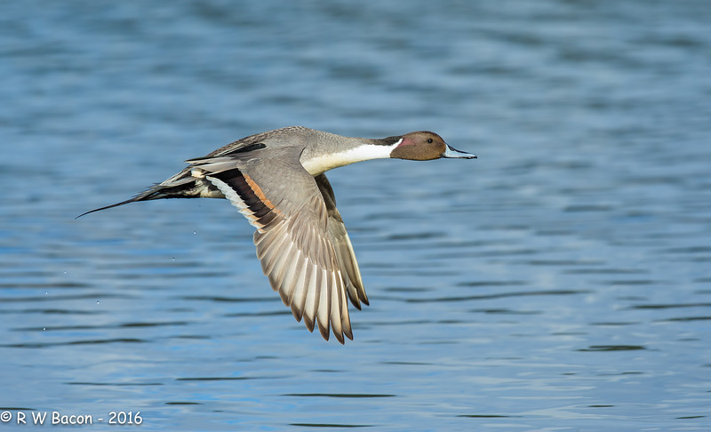 Pintail Fly-By