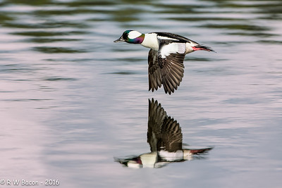 Bufflehead Fly-by