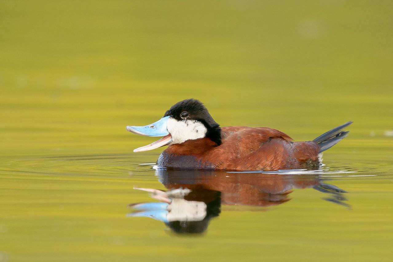 Ruddy Duck Kamloops, BC