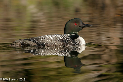 Loon Reflection