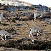 Flock of Himalayan Blue Sheep (Bharal)...