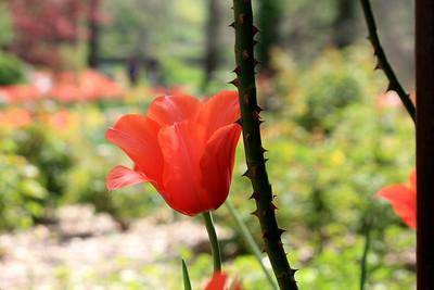 Tulip. Photo by Karen.