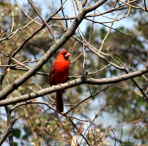 Cardinal in tree. Photo by Karen.