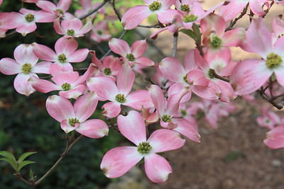 Blooming dogwood. Photo by Karen