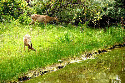 Deer along pond