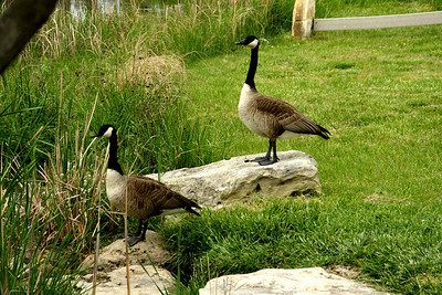 Geese on grounds