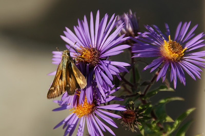 Moth on asters