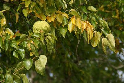 Hedge apple on Osage Orange tree
