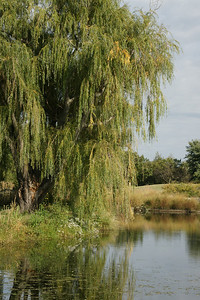 Willow tree along pond