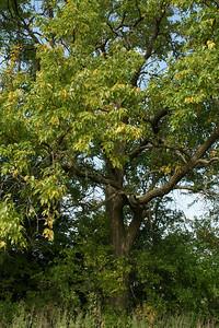 Osage Orange (Hedge) tree