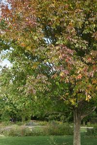 Purple Ash tree