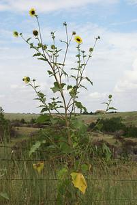 Sunflowers along Gyp Hills Scenic Drive, Barber County, Kansas