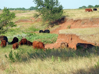 Cattle grazing in a draw